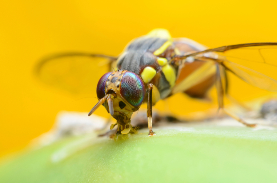 The Secret to Keeping Fruit Flies Away | Berry Chatty